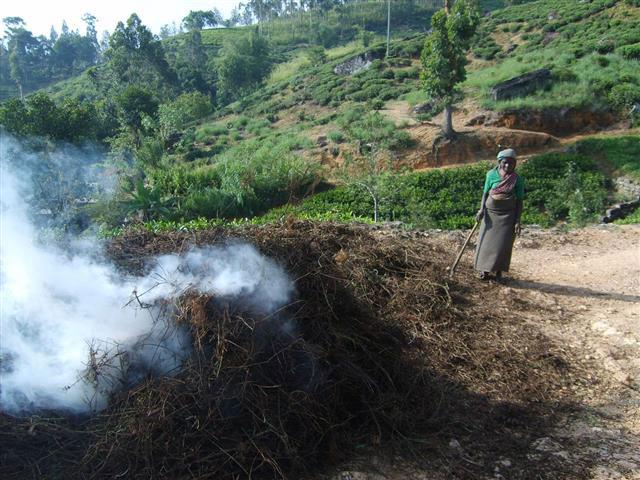 Worker at tea plantation in Sri Lanka